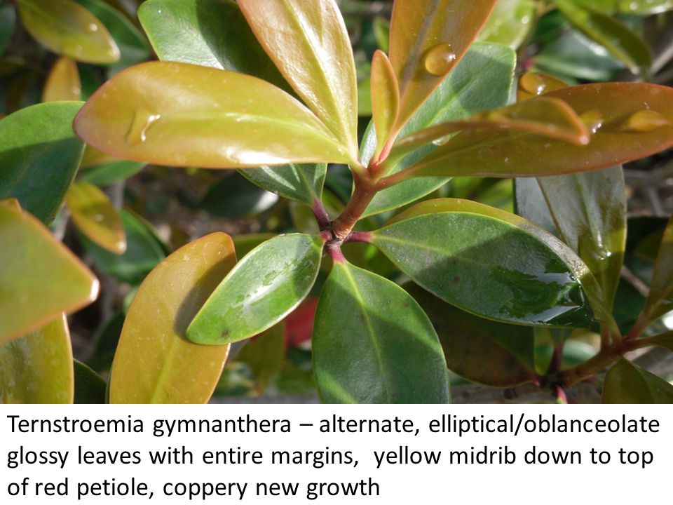 Ternstroemia gymnanthera – alternate, elliptical/oblanceolate glossy leaves with entire margins, yellow midrib down to top of red petiole, coppery new growth