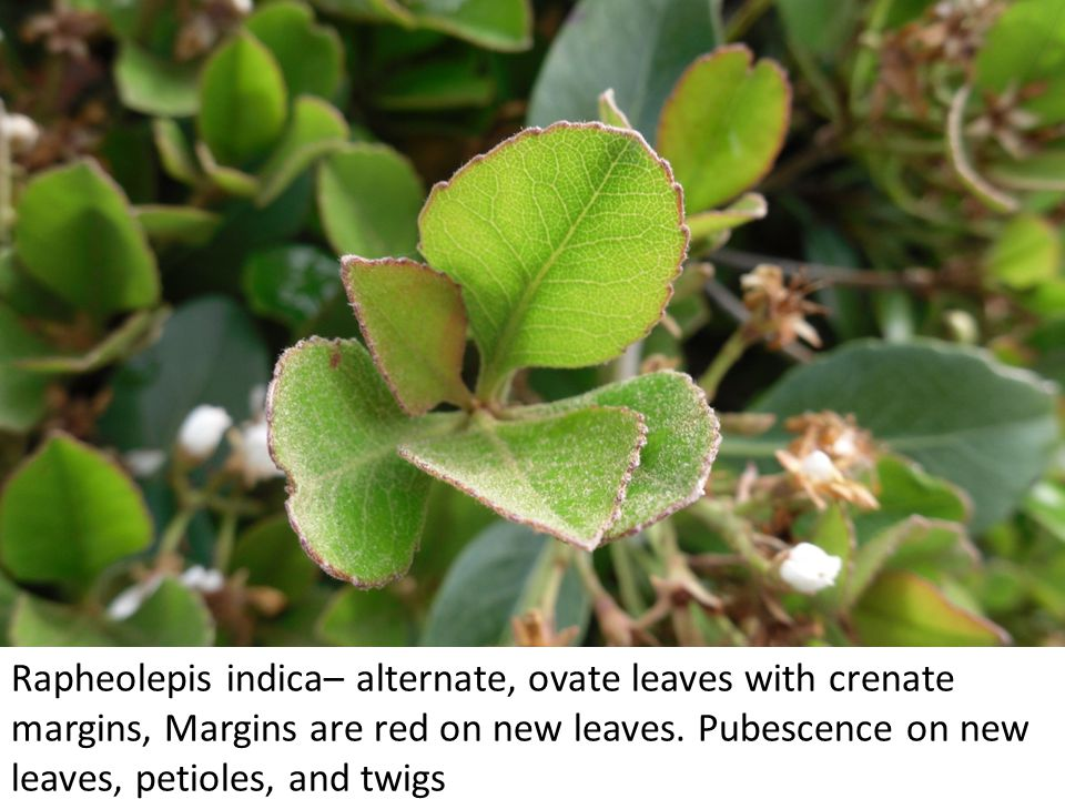 Rapheolepis indica– alternate, ovate leaves with crenate margins, Margins are red on new leaves.