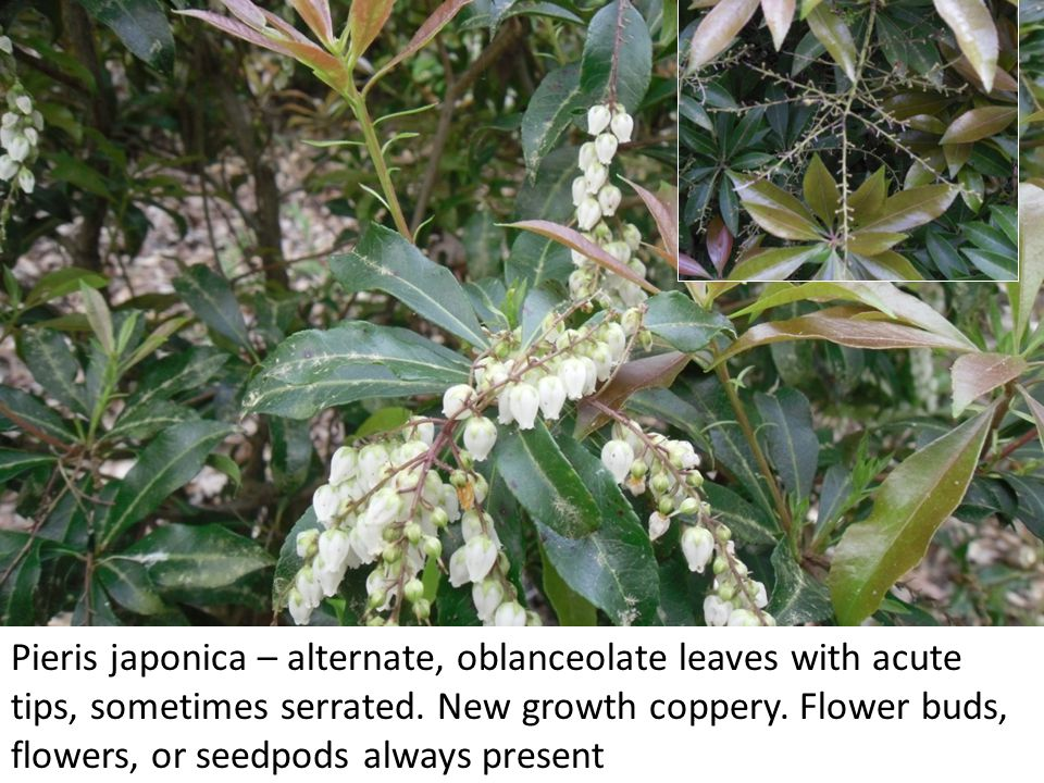 Pieris japonica – alternate, oblanceolate leaves with acute tips, sometimes serrated.