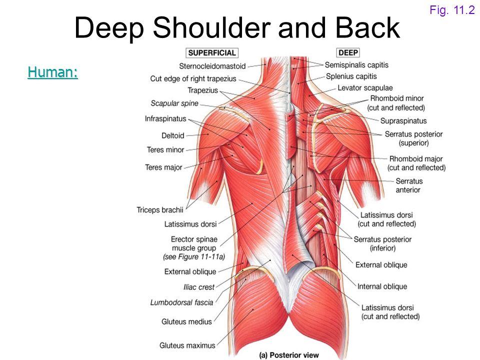 Deep Shoulder and Back Fig. 11.2 Human:
