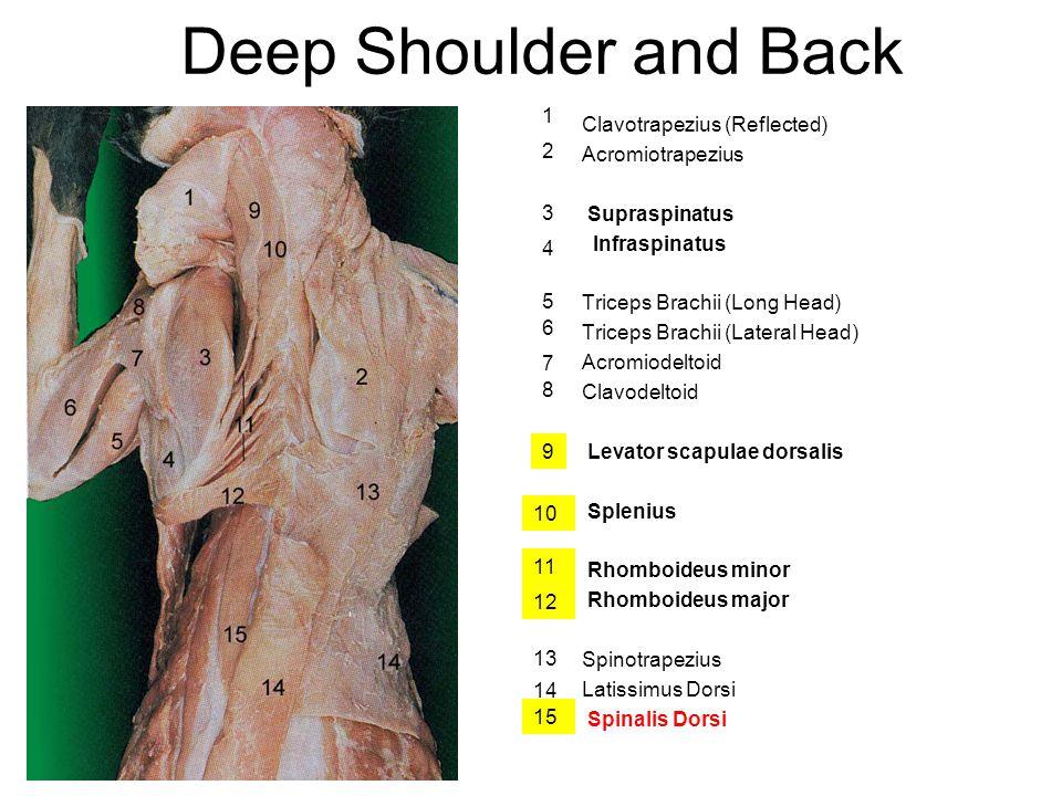 Deep Shoulder and Back 1 Clavotrapezius (Reflected) Acromiotrapezius 2
