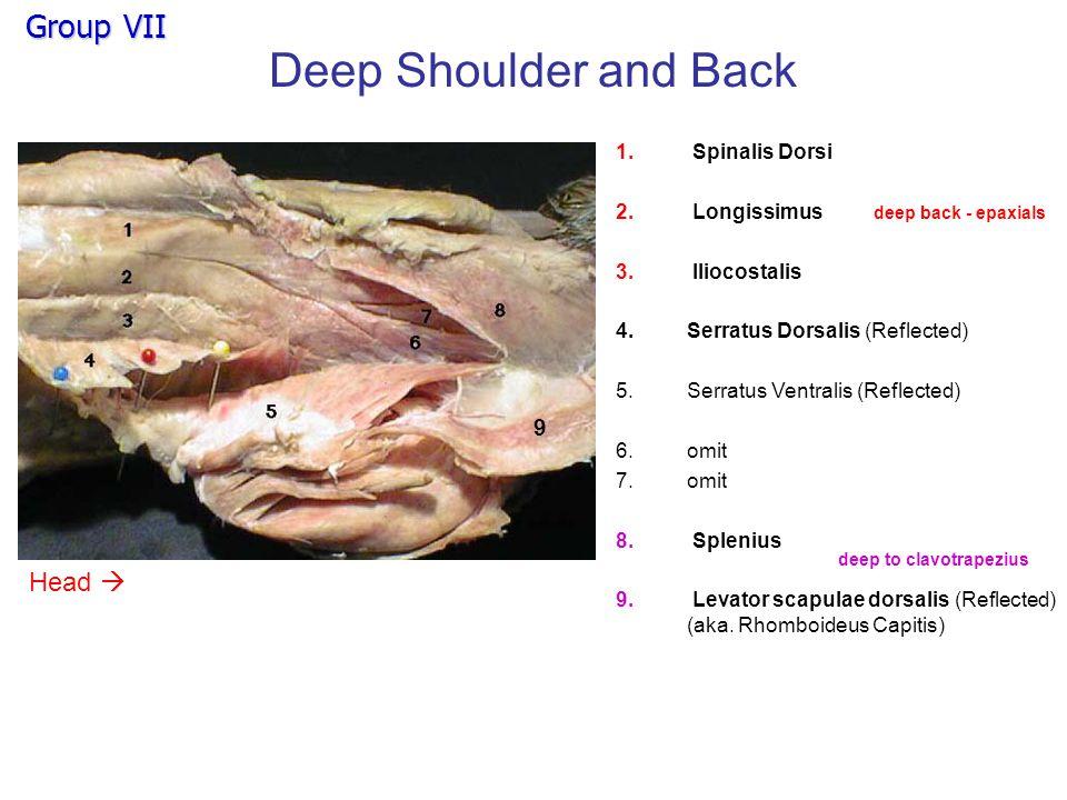 Deep Shoulder and Back Group VII Head  9 Spinalis Dorsi Longissimus