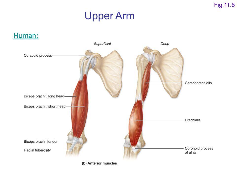 Fig.11.8 Upper Arm Human: