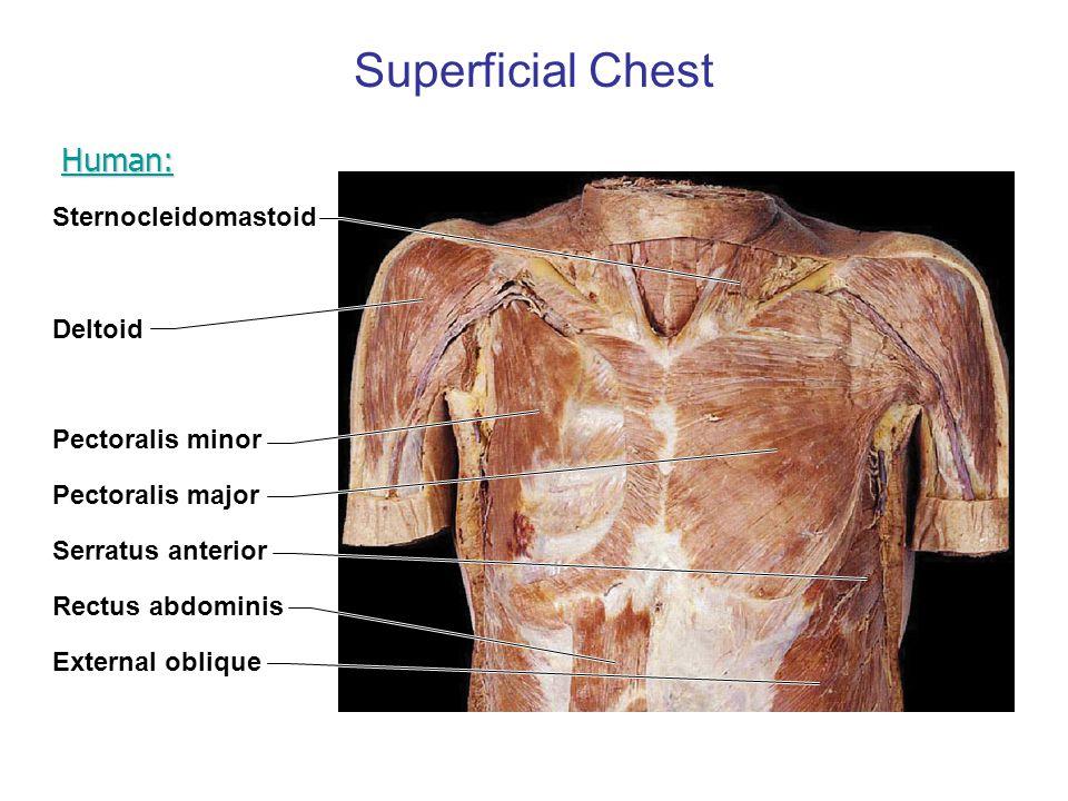 Superficial Chest Human: Sternocleidomastoid Deltoid Pectoralis minor