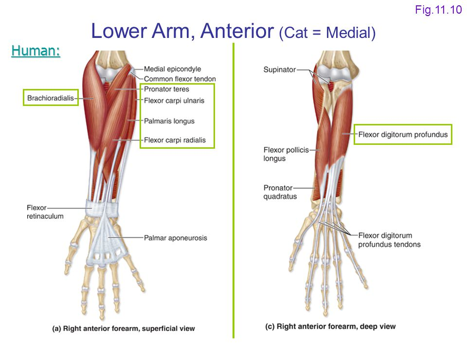 Lower Arm, Anterior (Cat = Medial)