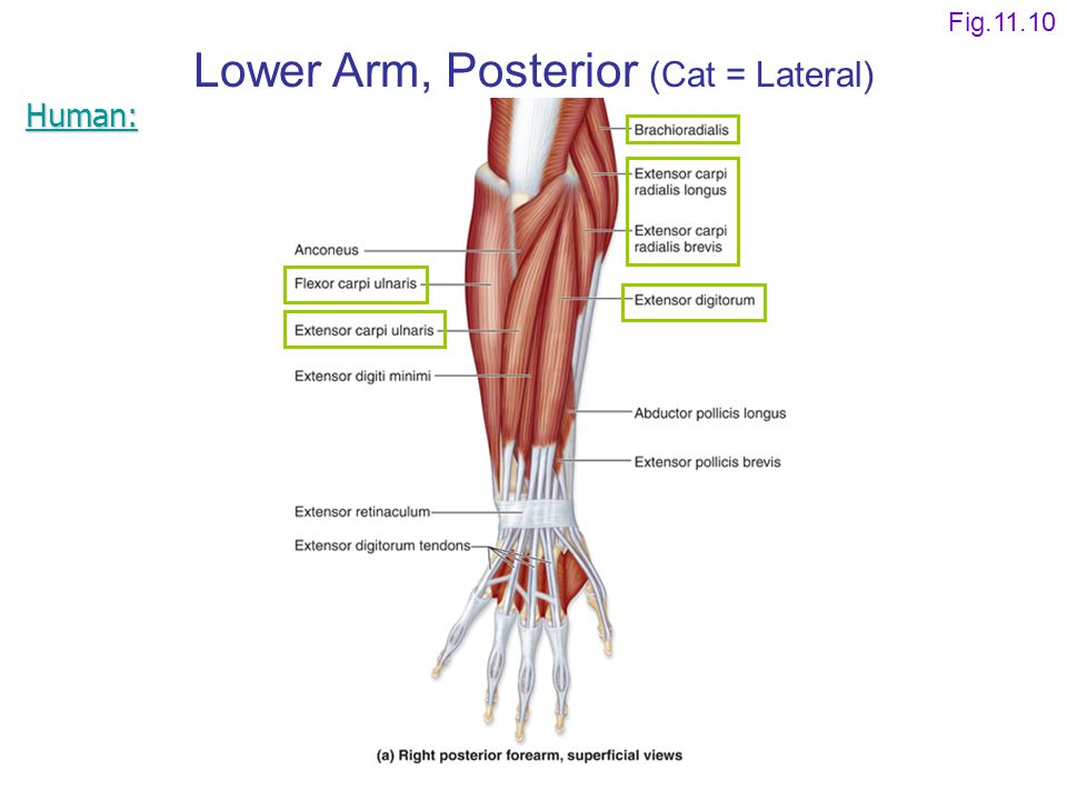 Lower Arm, Posterior (Cat = Lateral)