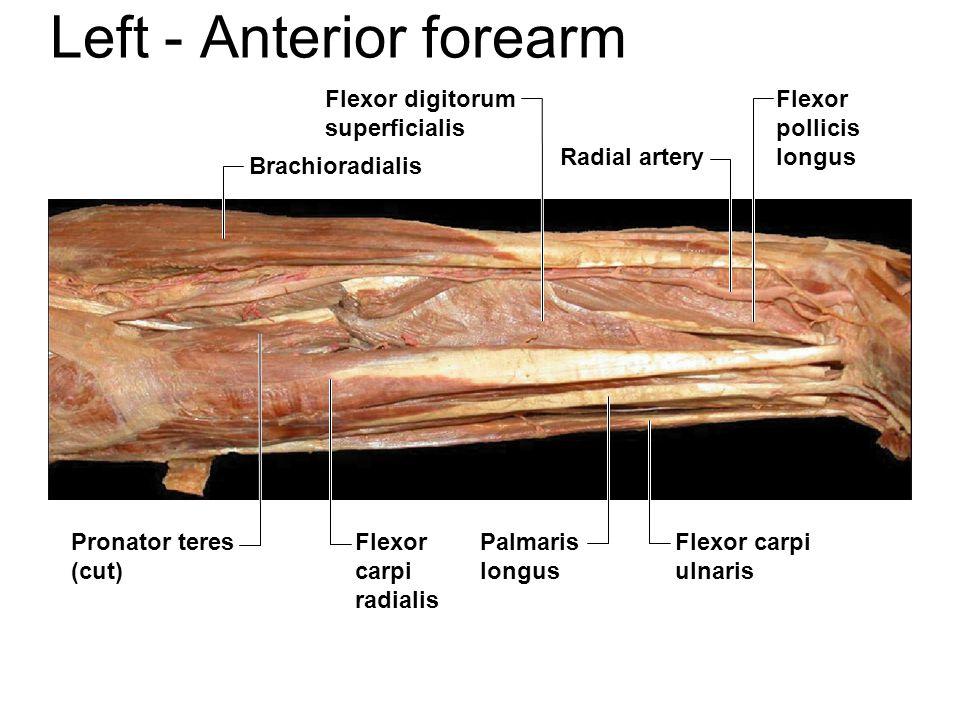 Left - Anterior forearm