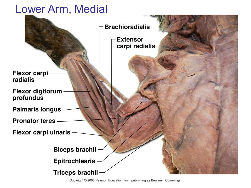 Lower Arm, Medial