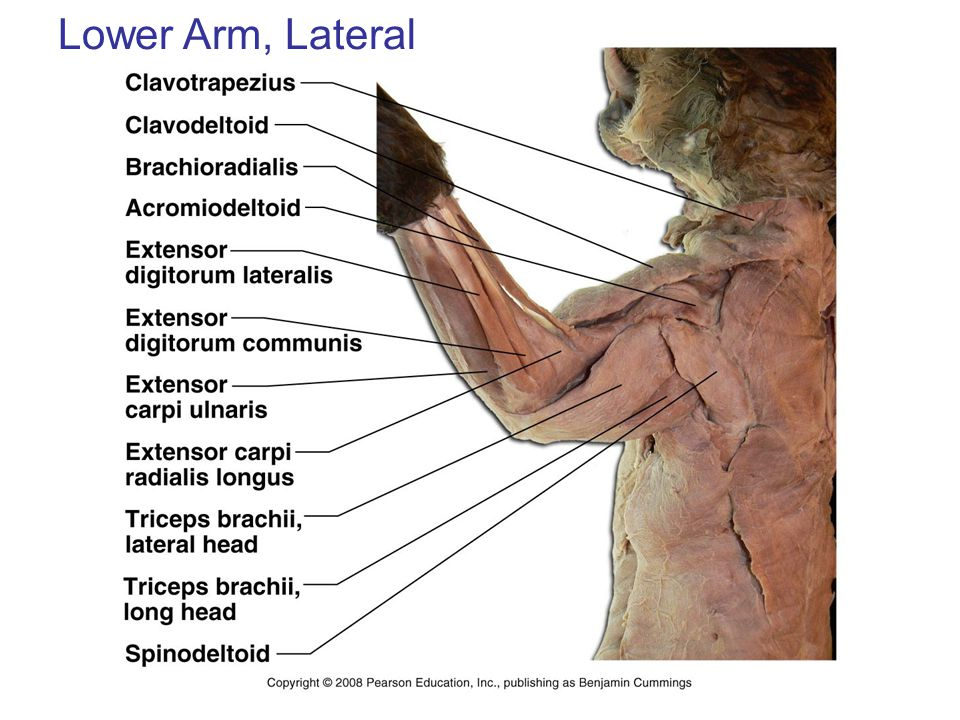 Lower Arm, Lateral