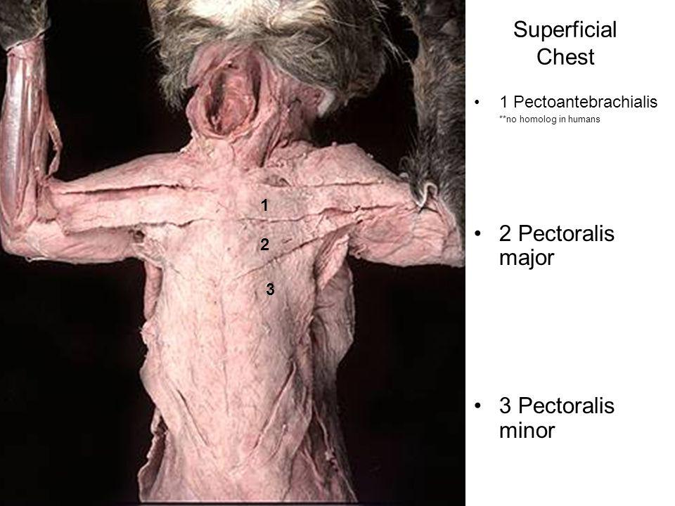 Superficial Chest 2 Pectoralis major 3 Pectoralis minor