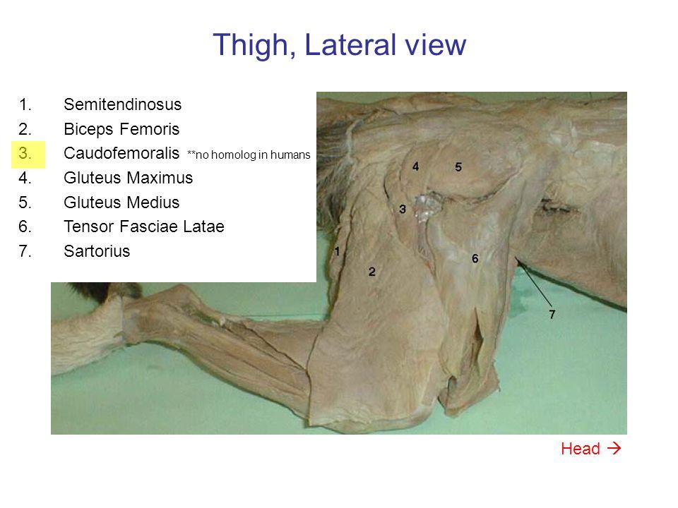 Thigh, Lateral view Semitendinosus Biceps Femoris