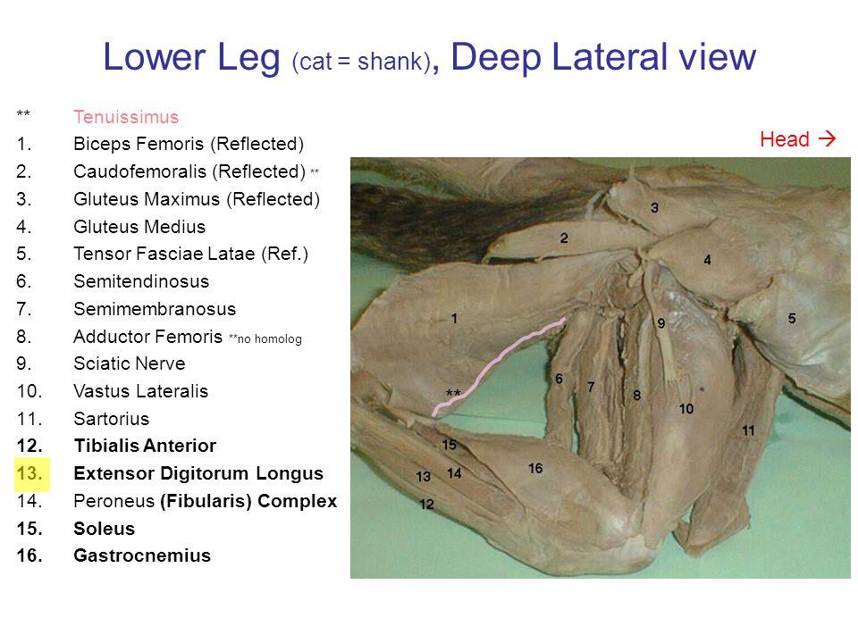 Lower Leg (cat = shank), Deep Lateral view