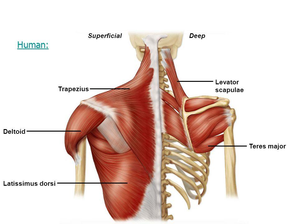 Human: Superficial Deep Levator scapulae Trapezius Deltoid Teres major