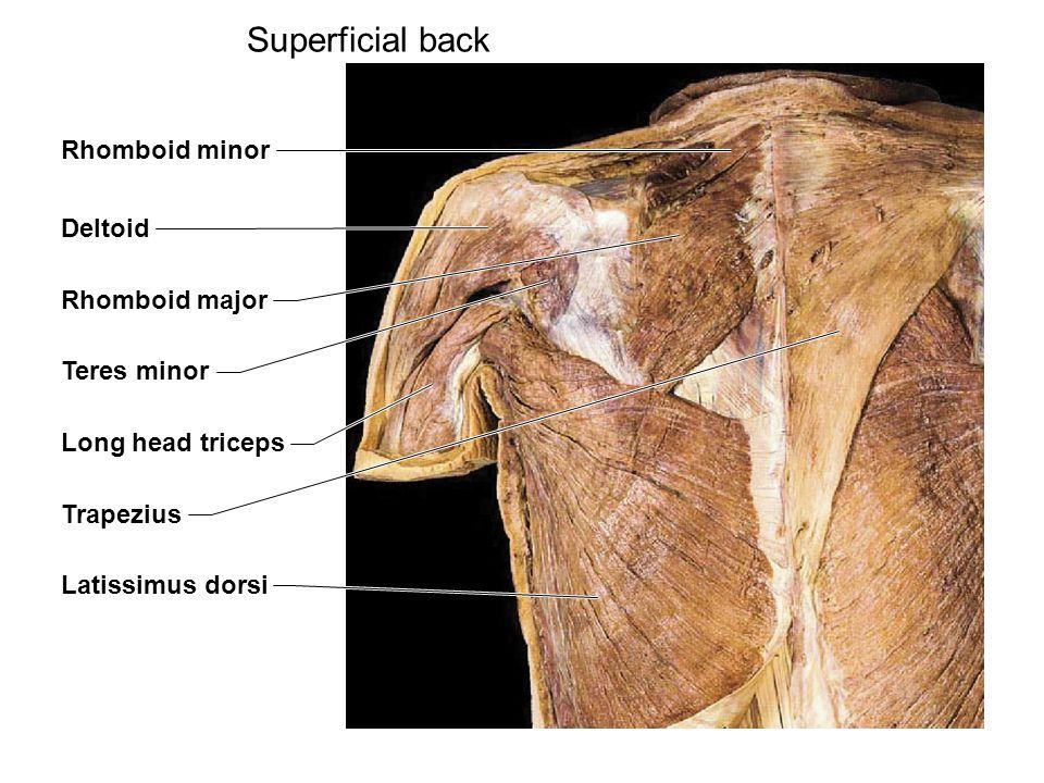 Superficial back Rhomboid minor Deltoid Rhomboid major Teres minor