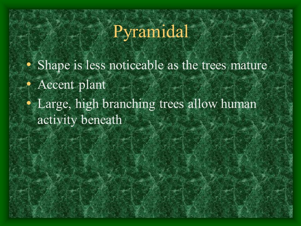 Pyramidal Shape is less noticeable as the trees mature Accent plant