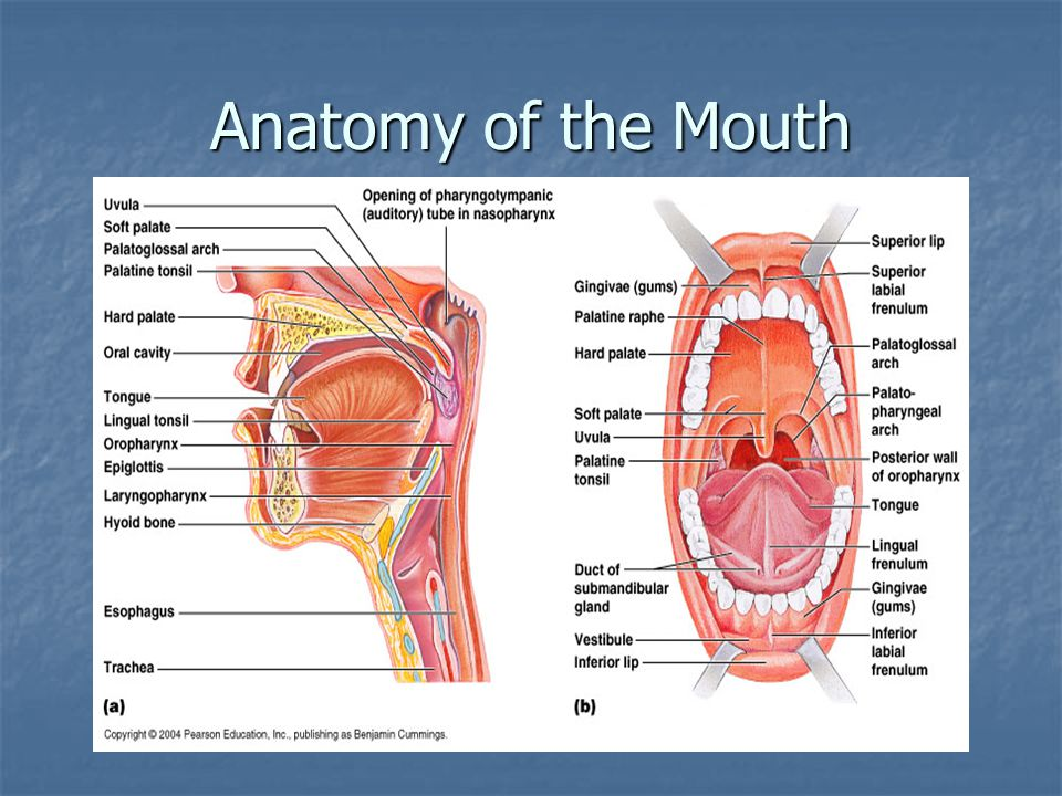 Anatomy of the Mouth