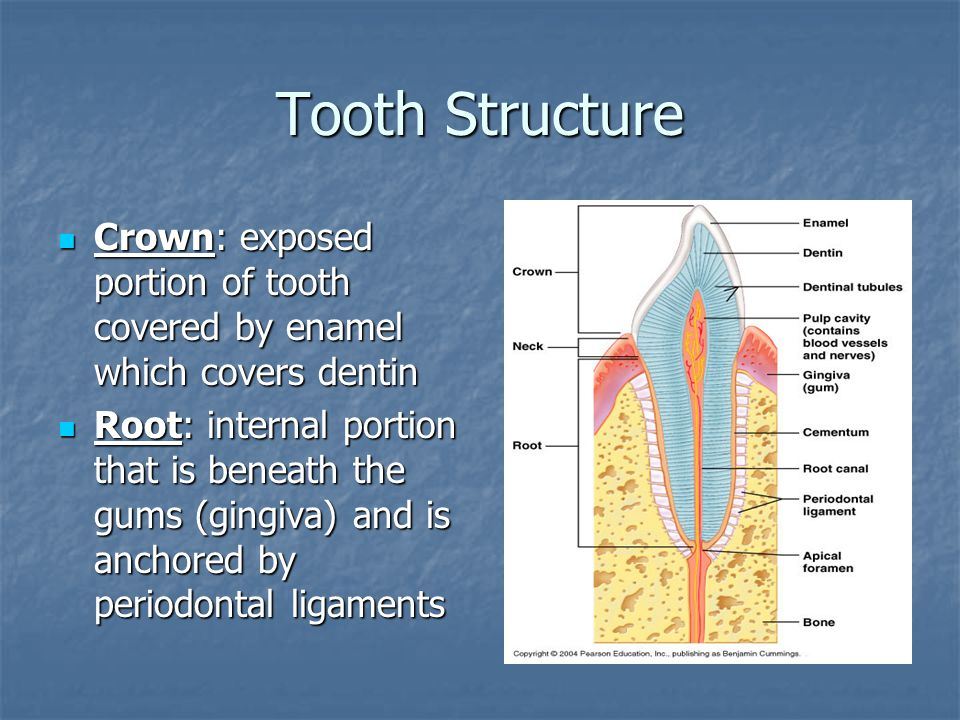 Tooth Structure Crown: exposed portion of tooth covered by enamel which covers dentin.