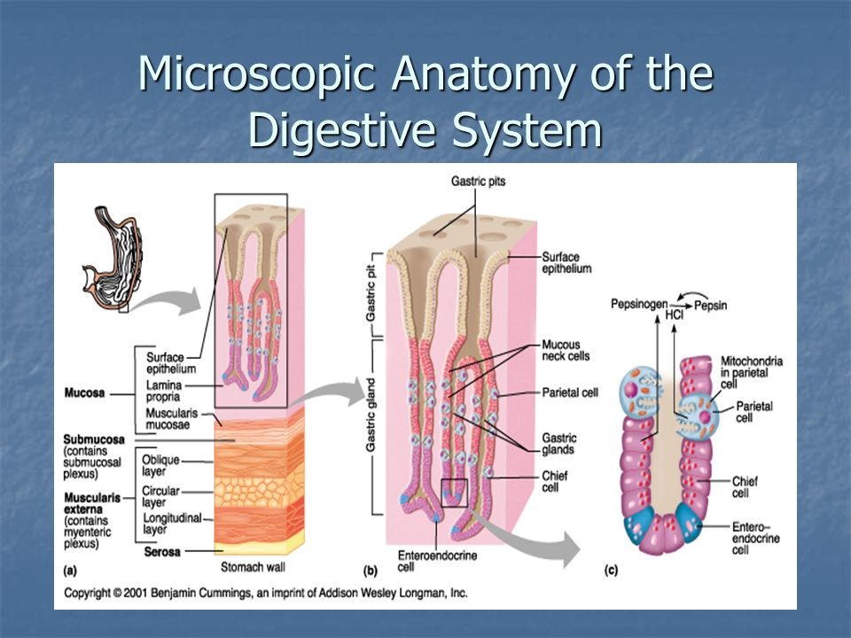 Microscopic Anatomy of the Digestive System