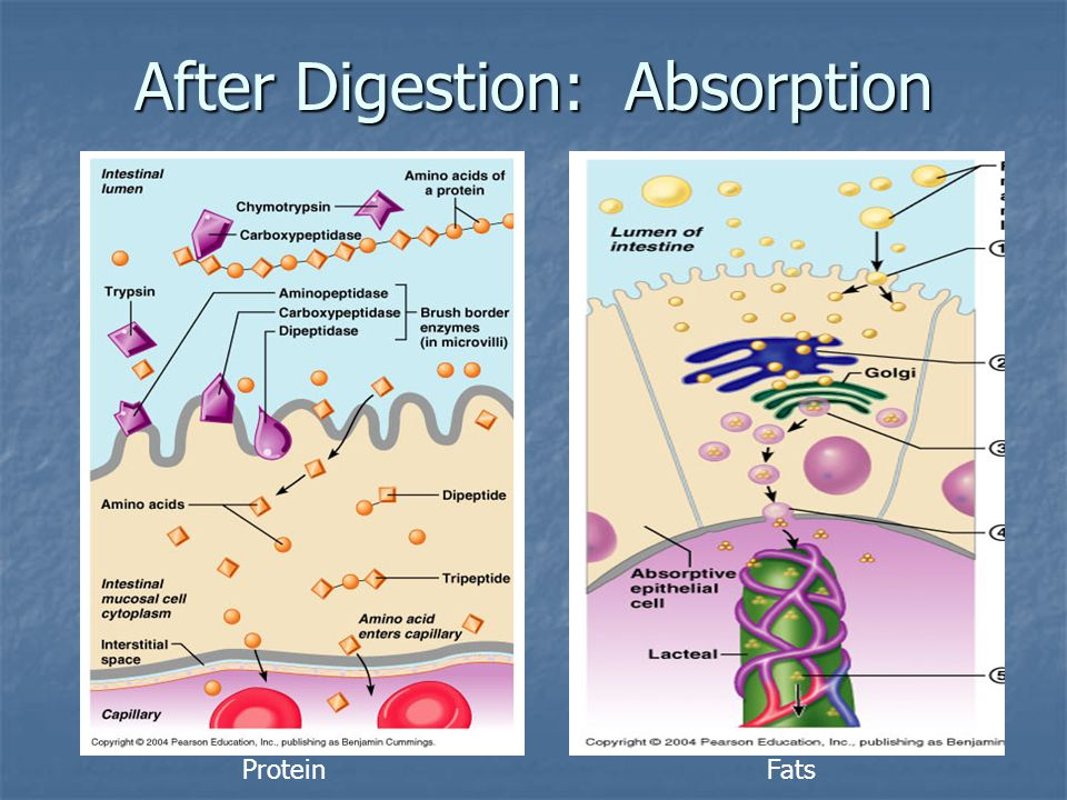 After Digestion: Absorption