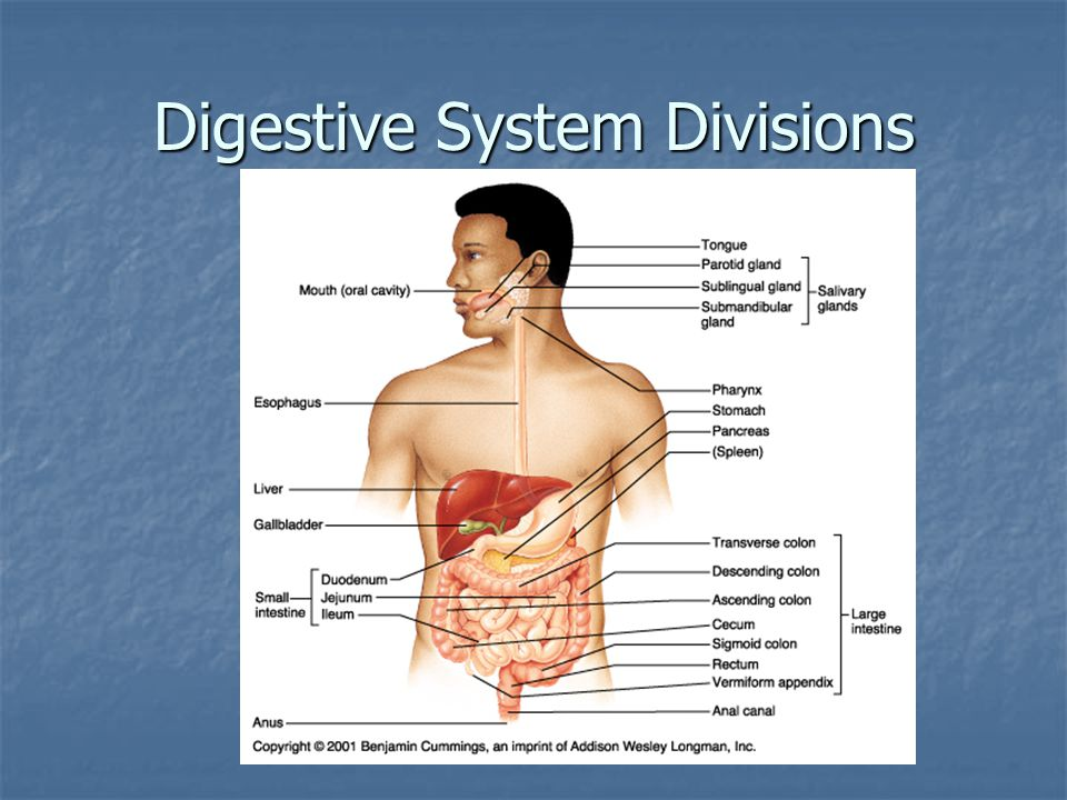 Digestive System Divisions