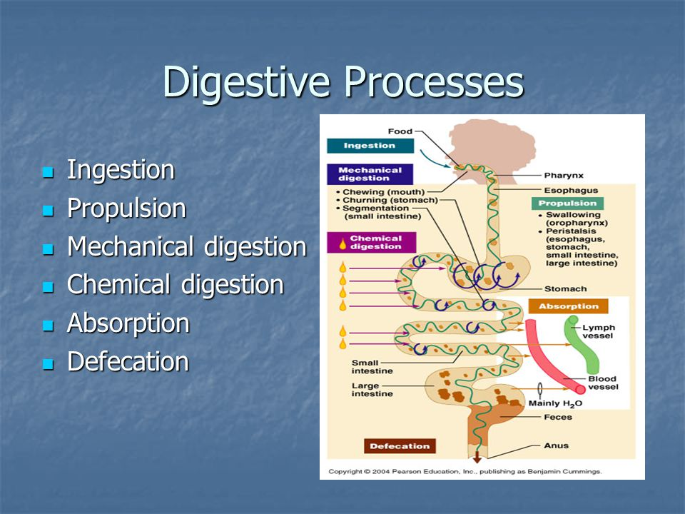 Digestive Processes Ingestion Propulsion Mechanical digestion