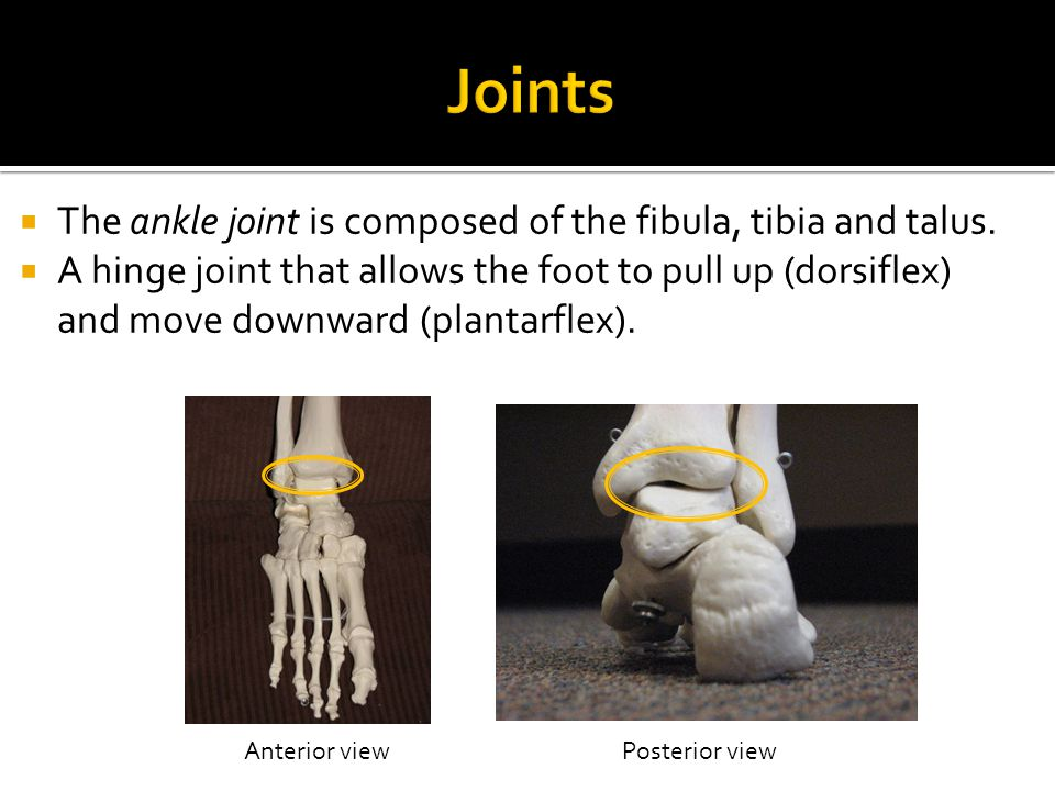 Joints The ankle joint is composed of the fibula, tibia and talus.