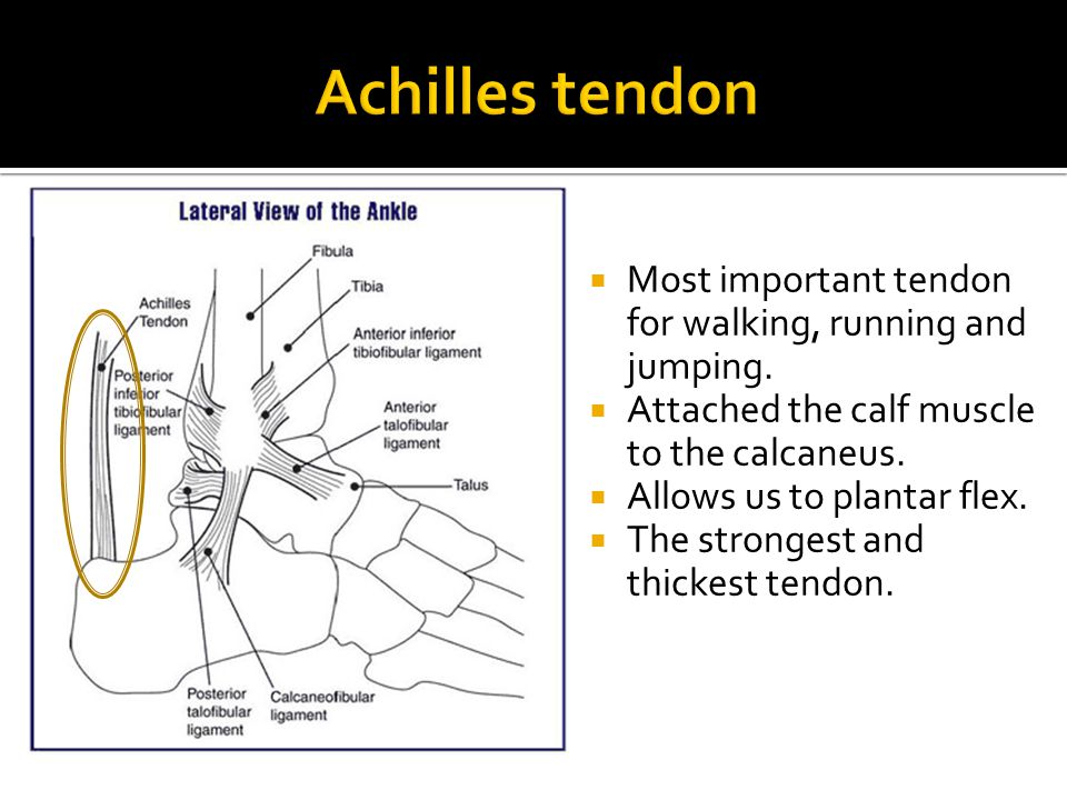 Achilles tendon Most important tendon for walking, running and jumping. Attached the calf muscle to the calcaneus.