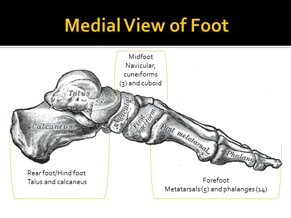 Medial View of Foot Midfoot Navicular, cuneiforms (3) and cuboid