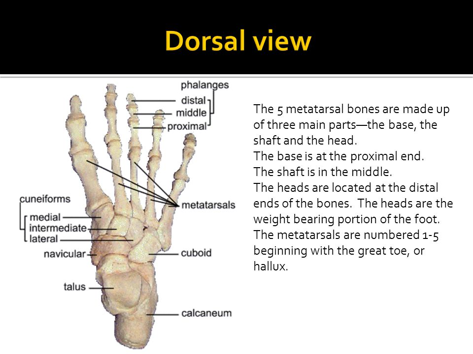 Dorsal view The 5 metatarsal bones are made up of three main parts—the base, the shaft and the head.