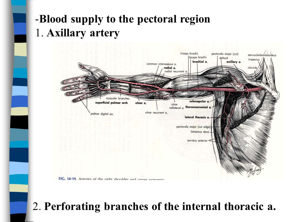 Blood supply to the pectoral region