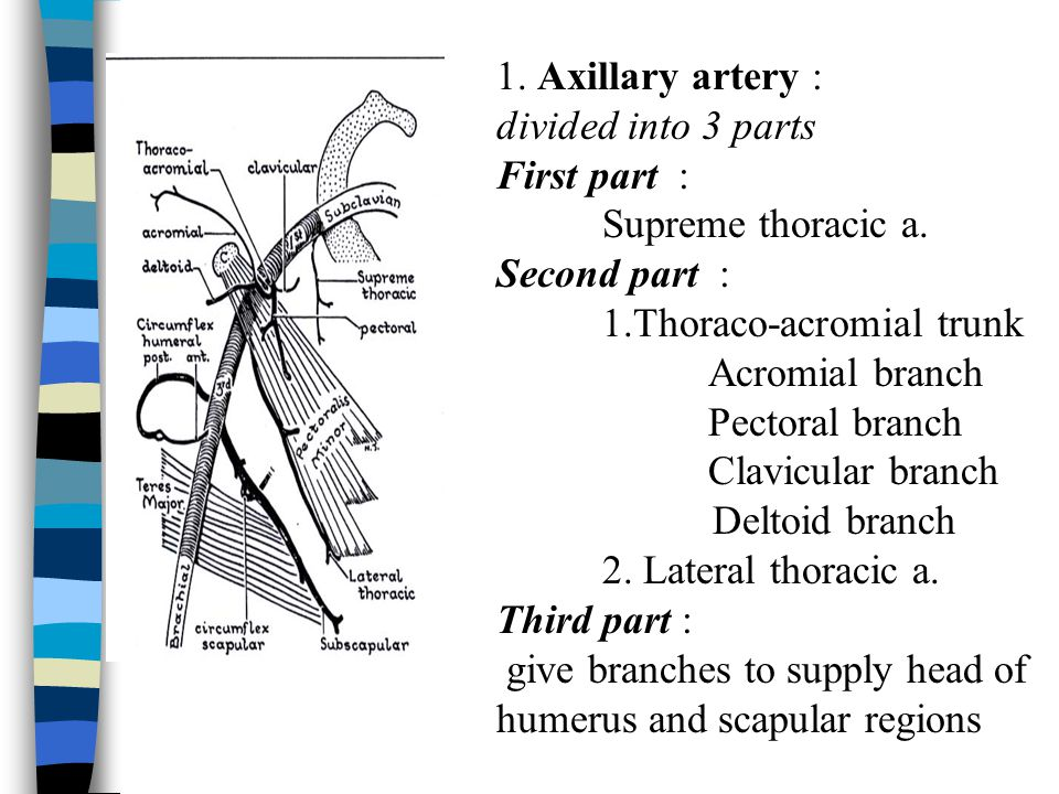1. Axillary artery : divided into 3 parts. First part : Supreme thoracic a. Second part : 1.Thoraco-acromial trunk.