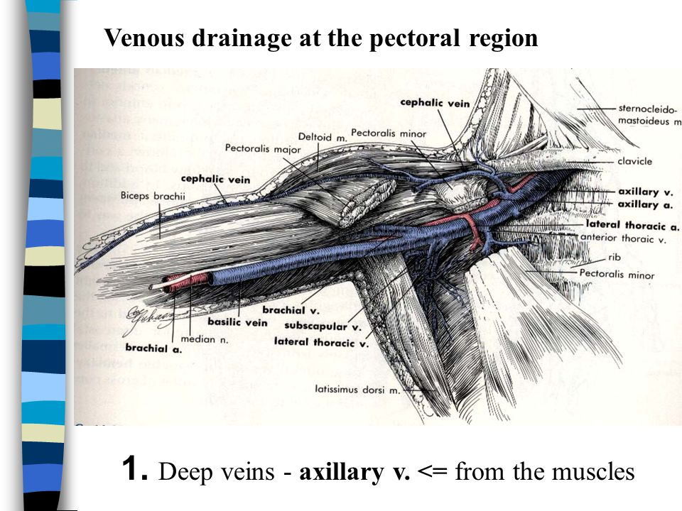 1. Deep veins - axillary v. <= from the muscles
