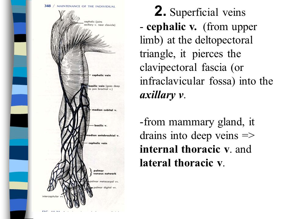 2. Superficial veins