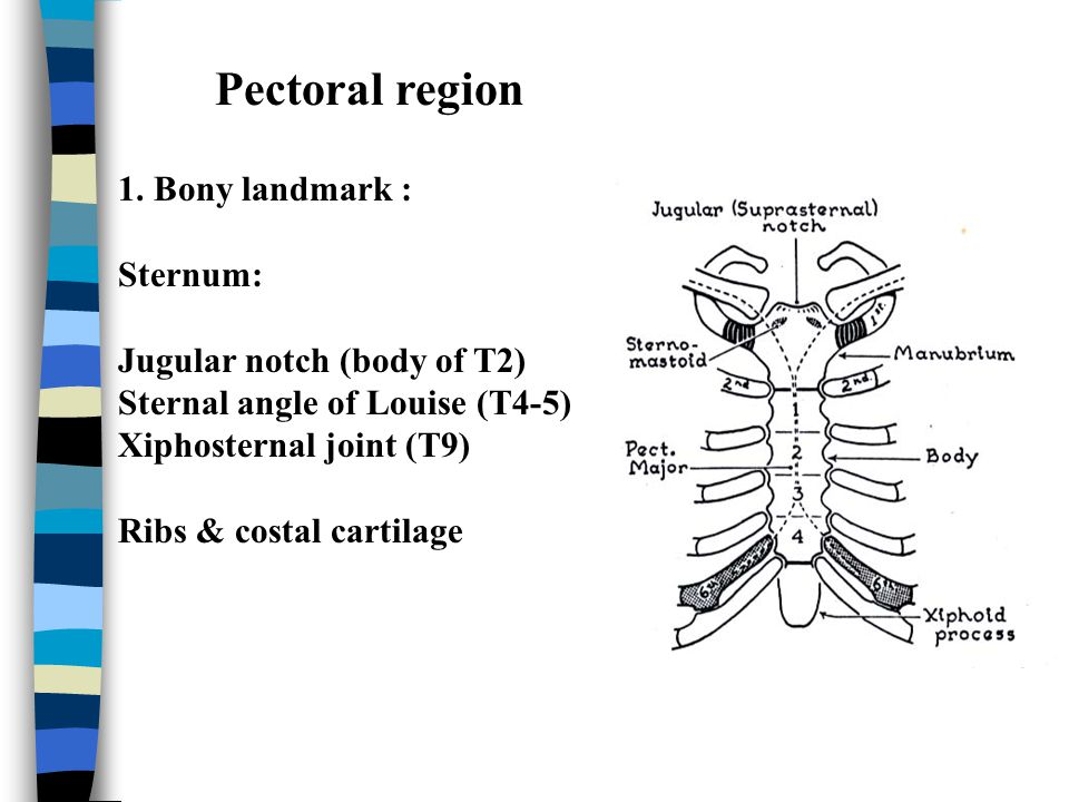 Pectoral region 1. Bony landmark : Sternum: Jugular notch (body of T2)