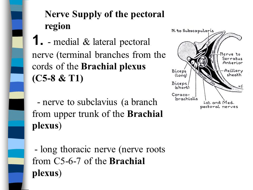 Nerve Supply of the pectoral region