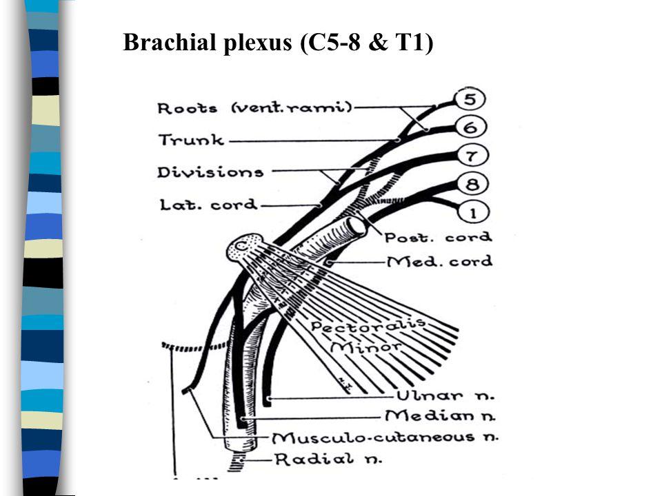 Brachial plexus (C5-8 & T1)