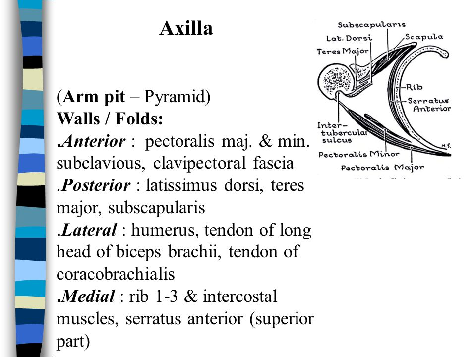Axilla (Arm pit – Pyramid) Walls / Folds: