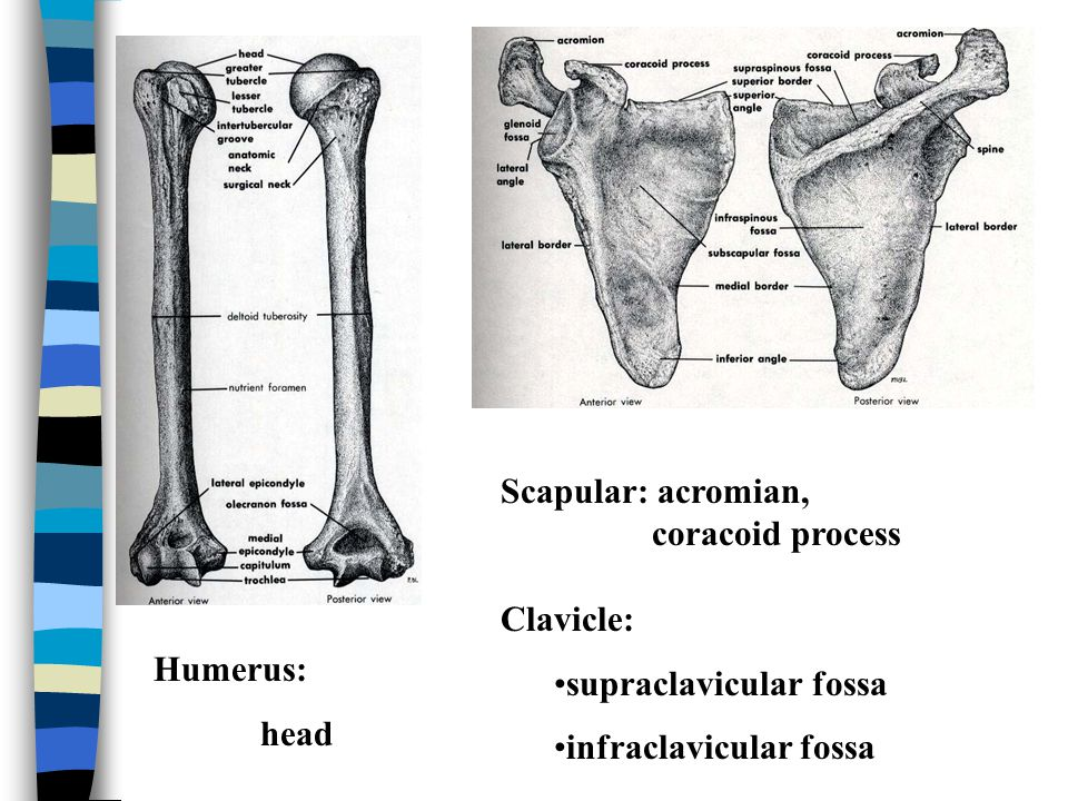 Scapular: acromian, coracoid process. Clavicle: supraclavicular fossa. infraclavicular fossa. Humerus: