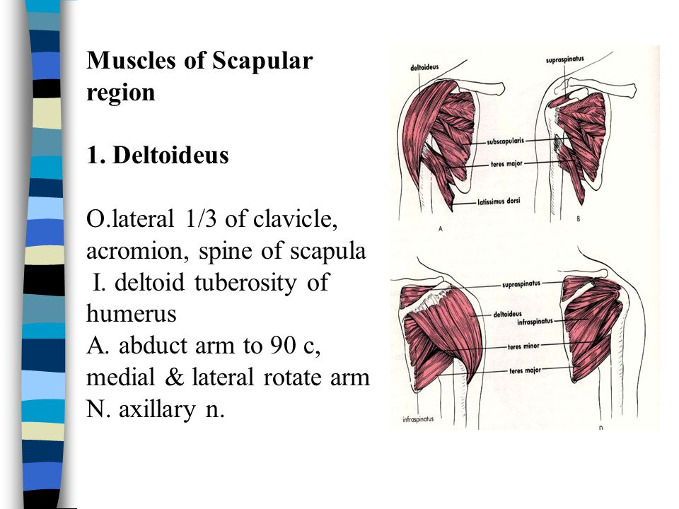 Muscles of Scapular region