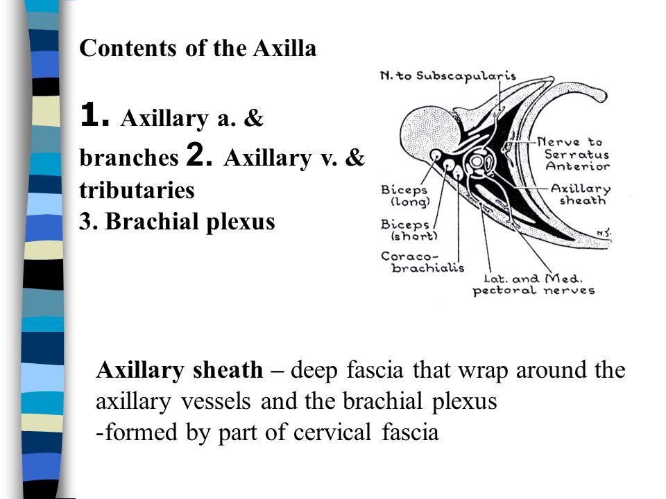 1. Axillary a. & branches 2. Axillary v. & tributaries