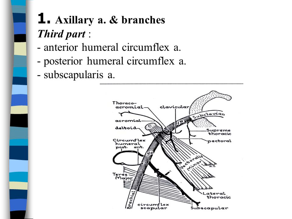 1. Axillary a. & branches Third part :