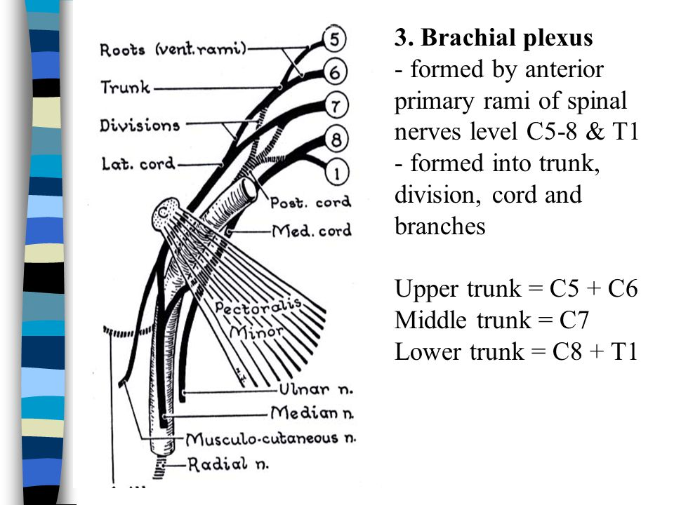 3. Brachial plexus - formed by anterior primary rami of spinal nerves level C5-8 & T1 - formed into trunk, division, cord and branches.