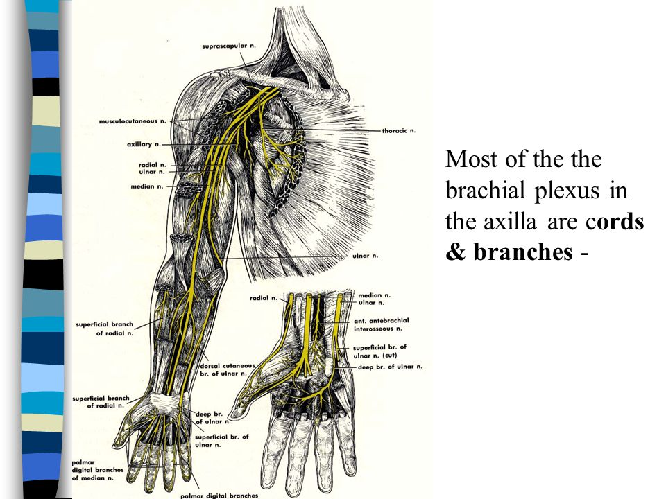 Most of the the brachial plexus in the axilla are cords & branches -