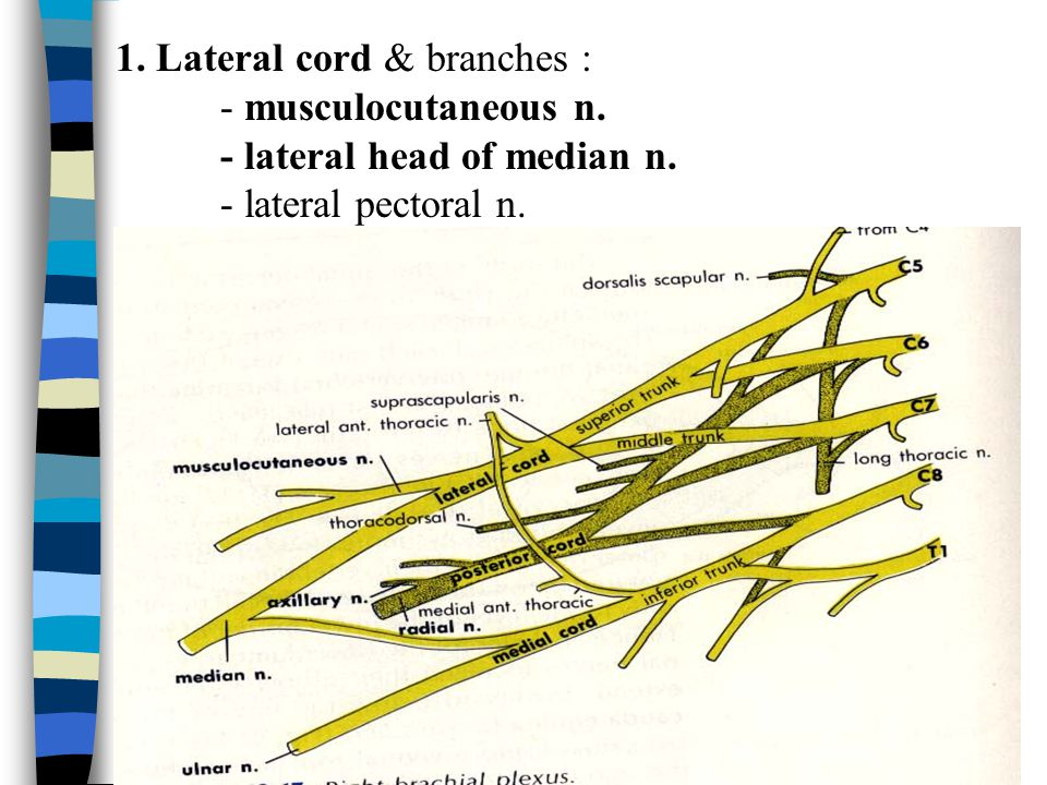 1. Lateral cord & branches :