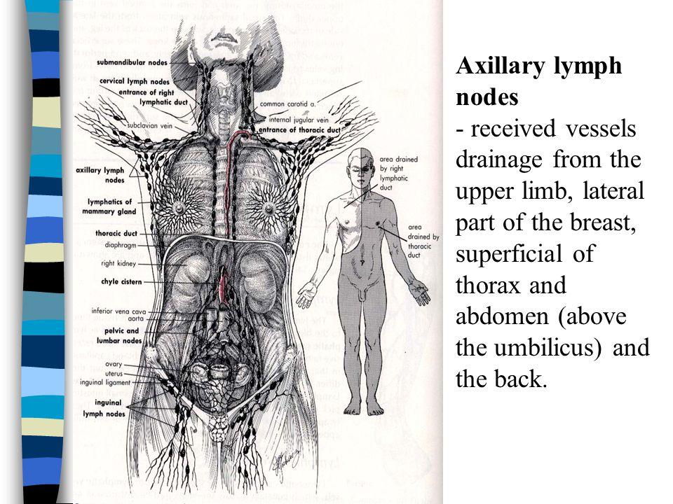 Axillary lymph nodes