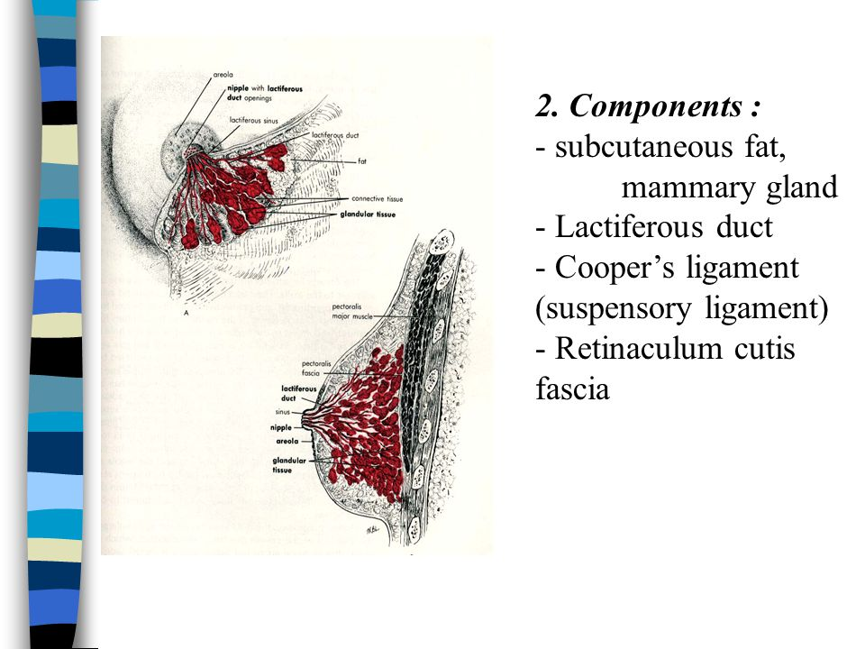 2. Components : - subcutaneous fat, mammary gland. - Lactiferous duct. - Cooper's ligament (suspensory ligament)