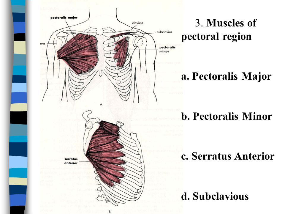 3. Muscles of pectoral region