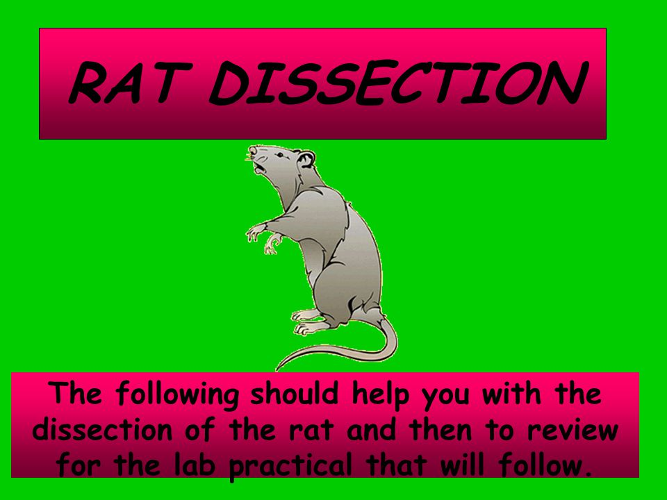 RAT DISSECTION The following should help you with the dissection of the rat and then to review for the lab practical that will follow.