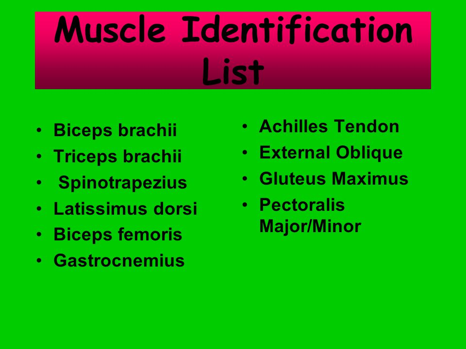Muscle Identification List