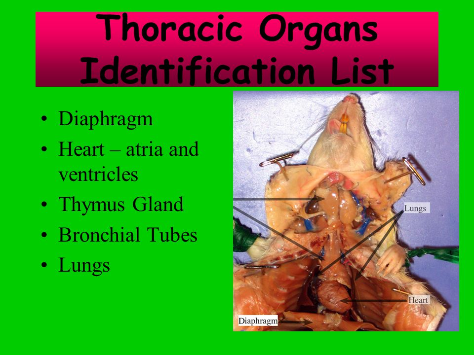 Thoracic Organs Identification List